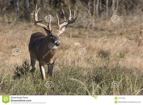 what does buck up big whitetail buck on the prowl stock photo image 47113126