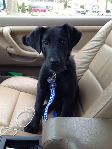 great dane lab mix puppies black lab great dane puppy pets great dane puppies dane puppies and