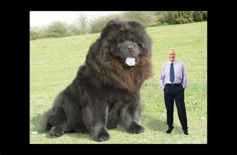 largest dogs in the world the in the world 2013