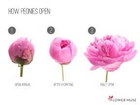 Fresh Flowers How Peonies Are Shipped Flower Muse Blog