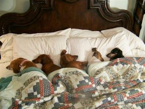 dogs in bed dogs in the bed