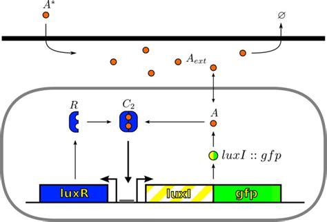 r protein operon scheme of the luxi luxr regulatory network the luxr r