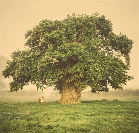 pictures of trees 25 best ideas about oak tree on pinterest angel oak