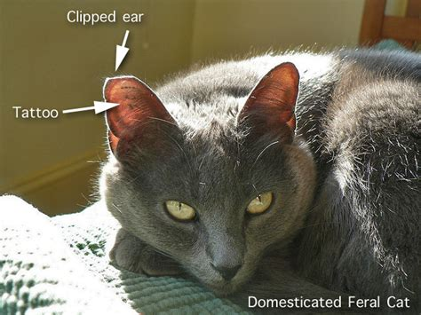 clipping ears false feral cat ear clipping tipping