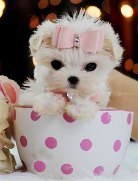 for puppies to teacup dachshund puppies puppies puppy