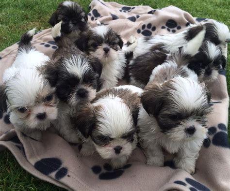 adorable shih tzu puppies home adorable shih tzu puppies llandeilo carmarthenshire pets4homes