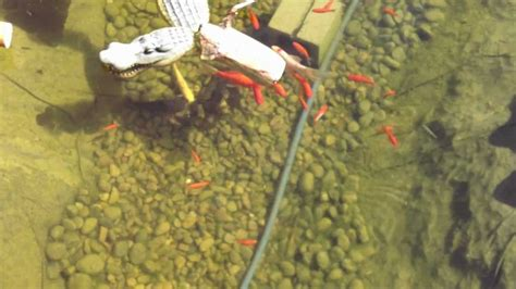 catfish backyard pond catfish and koi pond 3500 gallon las vegas nv youtube