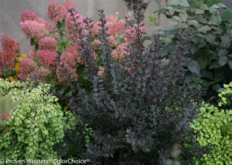 Patio Garden Containers - tiny wine 174 ninebark physocarpus opulifolious images proven winners