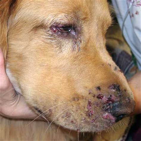 strangles in dogs dermatology allergy clinic for animals diseases infectious diseases