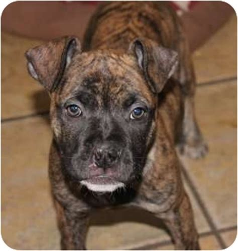 boxer pug mix puppies for sale pug mix puppies for sale in california breeds picture