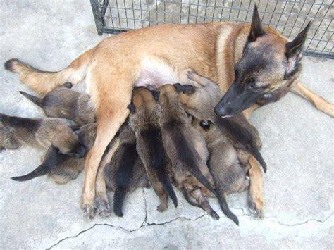 belgian malinois puppies for adoption belgian malinois puppies adopt a belgian malinois breeds picture