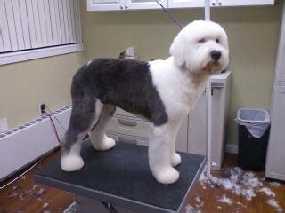 haircut sheep games old english sheepdog short hair