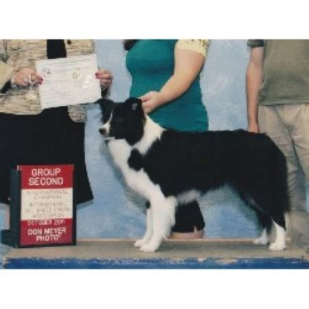 border collie puppies florida top notch border collies border collie breeder in palm bay florida
