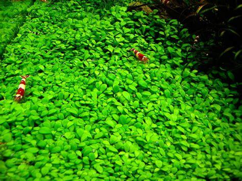 Aquascape Aquarium Plants Vordergrund Im Aquascape Aqua Rebell