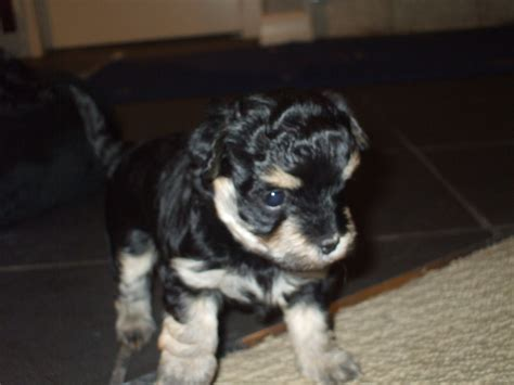yorkie puppies for sale calgary yorkie puppies for adoption in calgary alberta for sale breeds picture