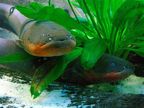 electric eel electric eel info and photos the wildlife