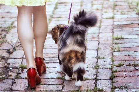 how to a to walk with a leash how to your cat to walk with a leash