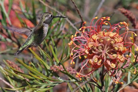detailed information  annas hummingbird calypte anna