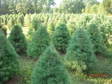 sycamore springs christmas tree farm tennessee christmas