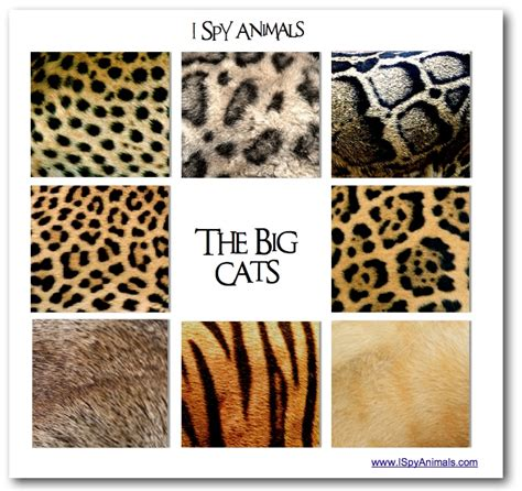 Leopard Jaguar Comparison I Animals I In The Animal Kingdom