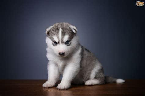 how many puppies can a husky five universal personality traits of the siberian husky pets4homes