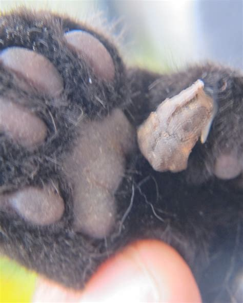 growth on paw abnormal growth on cat s paw not a wart or prehensile claw