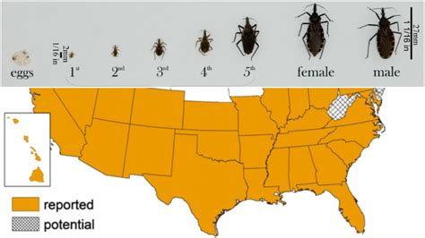 can bed bugs live in tvs deadly kissing bug spreads to more than half of us including utah fox13now com