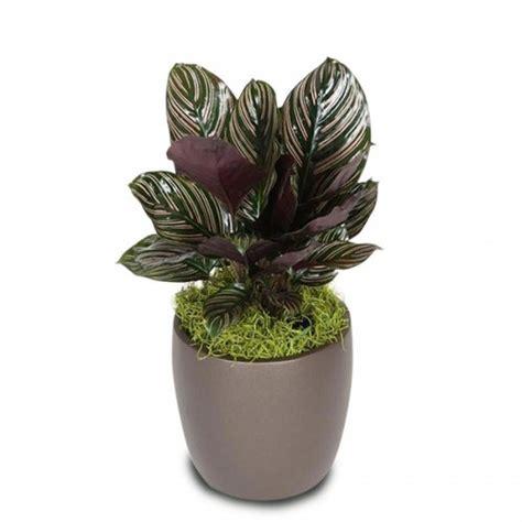 jual tanaman calathea ornata hp