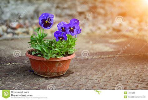 viole in vaso un mazzo di viole in vaso fotografia stock immagine