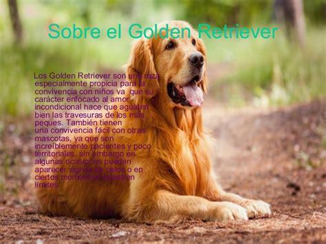 golden retriever pointing golden retriever