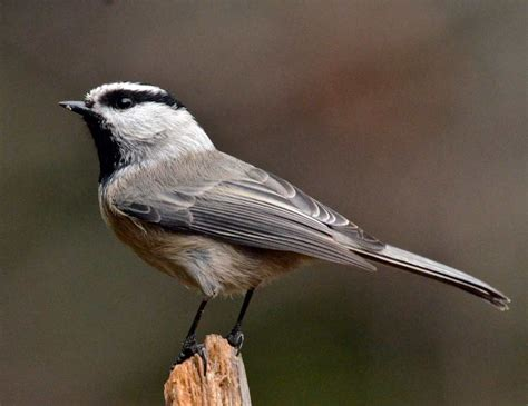 mountain chickadee ebirdr