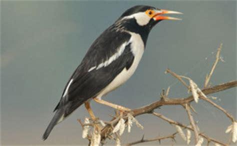 5 burung kicau termahal di indonesia semuaadadisini