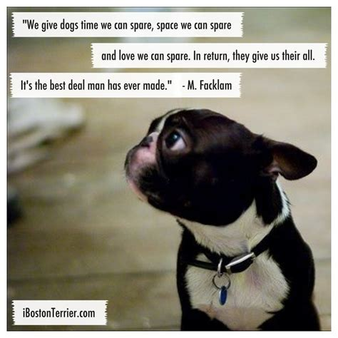 Boston Terrier Meme - 61 best boston terrier memes dogs and puppies too