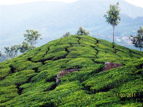 Tea Gardens by Popular Tourists Spots Around Munnar Genesis