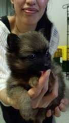 pomeranian puppies qld pomeranian puppies puppies for sale ormeau queensland pomeranian dogs for sale in