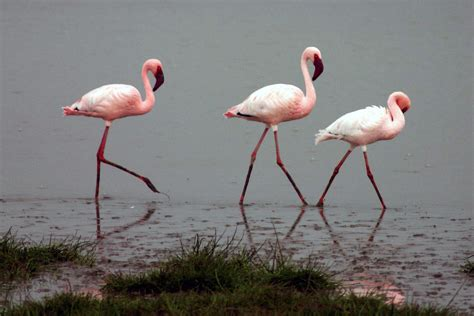 File:Lesser flamingos   Wikipedia