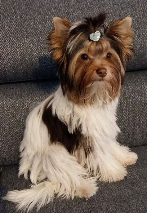 what is a yorkie terrier rassestandard archive terrier
