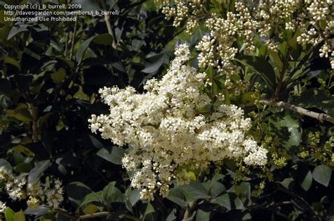 shrub with white flowers identification plant identification closed beautiful white flowering