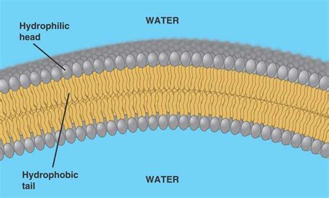 main component   cell membrane
