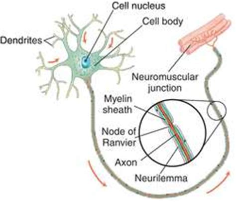 motor neuron definition neuron definition of neuron by dictionary