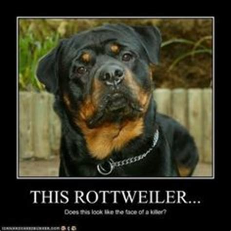 why does my rottweiler sit on me 1000 images about rottweiler on rottweilers rottweiler and