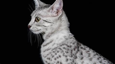 wallpaper egypt cat egyptian mau cat profile look hd wallpaper wallpaperfx