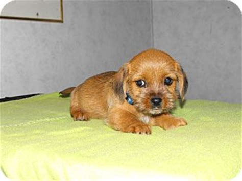 shih tzu and dachshund mix puppies brody adopted puppy wilminton de shih tzu dachshund mix