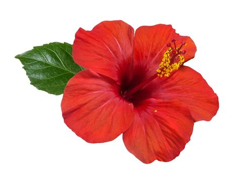 fiore ibiscus hisbiscus flower flowers ideas for review