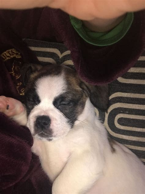 bulldog cross shih tzu bulldog cross shih tzu runcorn cheshire pets4homes
