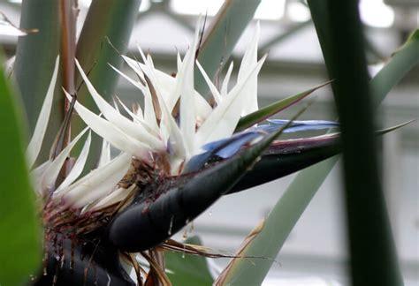 strelitzia bird  paradise guide  house plants
