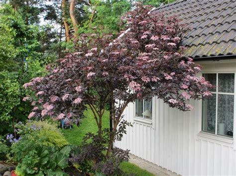 schwarzer holunder black lace http www alltomtradgard se forum tradgard tradgardsforum