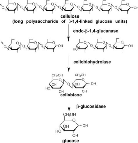 Research Papers On Chitin Degrading Enzymes by Enzymes Involved In Cellulose Breakdown In Well Studied Cellulolytic