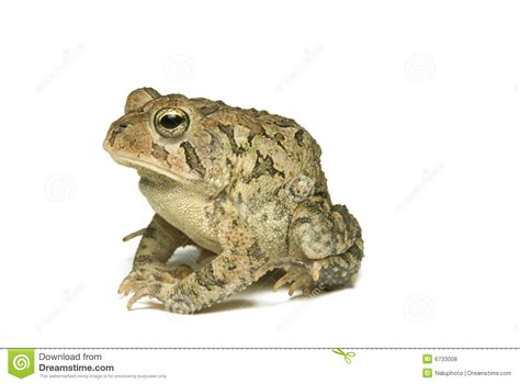 Southern Toad Profile Royalty Free Stock Photos - Image ...