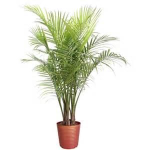 Indoor Palm by Majesty Palm Ravenea Rivularis Mygarden Org